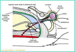 Castration surgery illustration