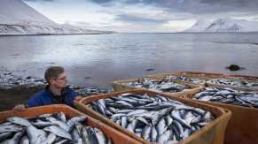 Fish in Iceland