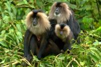 Indian lion-apes