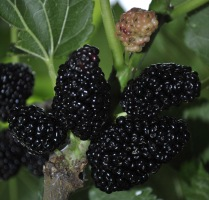 Mulberries, product of the Morea