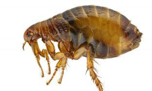 Yersinia Pestis, plague flea