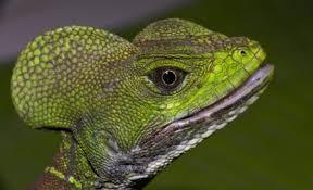 Basiliscus reptile