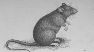 Rats of the plague