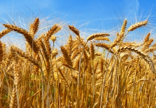Wheat from Egypt