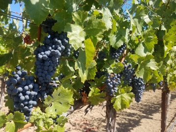 Roman vineyards