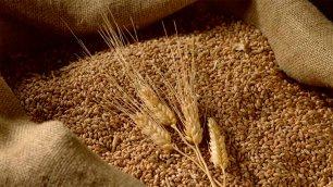 Wheat grain from Egypt