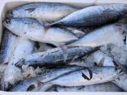 Greek Bonito fish