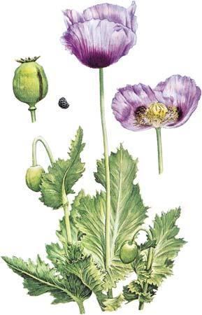 Opium-poppy-seed-fruit-flower-detail